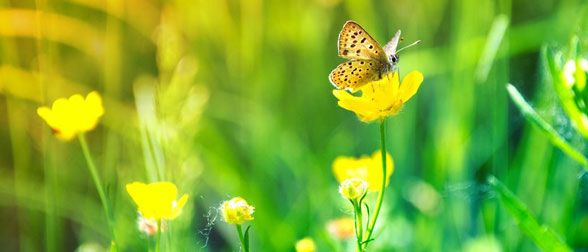 Butterfly-on-yellow-flower-123RF-19789558_m-588x252px