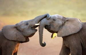 14989800 - elephants touching each other gently greeting - addo elephant national park