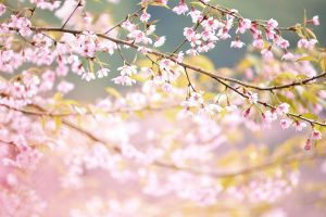 47894834 - closeup of wild himalayan cherry vintage color